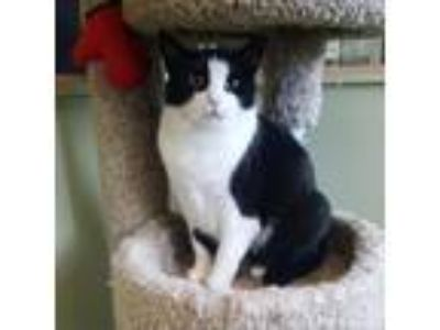 Adopt Peggy Sue a All Black Domestic Shorthair cat in Pendleton, NY (22090264)