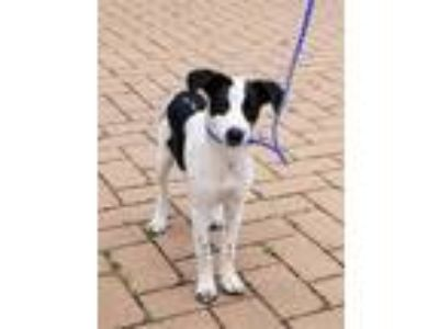 Adopt *BRIENNE a White - with Black Border Collie / Pointer / Mixed dog in