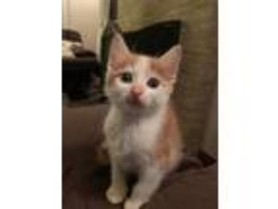 Adopt Archie a Domestic Shorthair / Mixed cat in Madison, NJ (25846264)