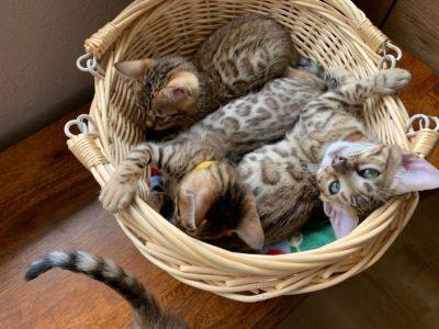 Very Handsome Male Bengal Kitten.