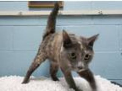 Adopt Lacey a Calico or Dilute Calico American Shorthair / Mixed (short coat)