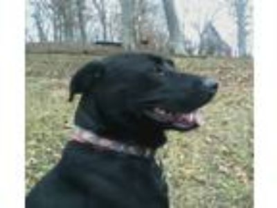 Adopt Doogie a Black Labrador Retriever / Mixed dog in Blountville