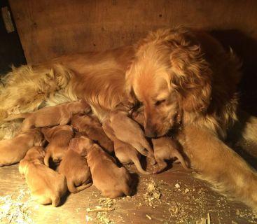 Golden Retriever Puppies AKC