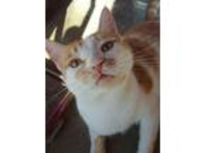 Adopt Bubbles a Orange or Red (Mostly) Domestic Shorthair (short coat) cat in