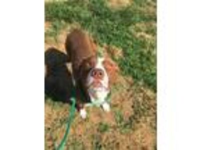 Adopt Grady a Red/Golden/Orange/Chestnut American Pit Bull Terrier / Mixed dog