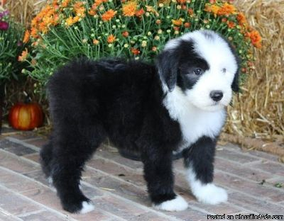 !!!Quality Homes Only!!!Old English Sheepdog Pups For Sale.