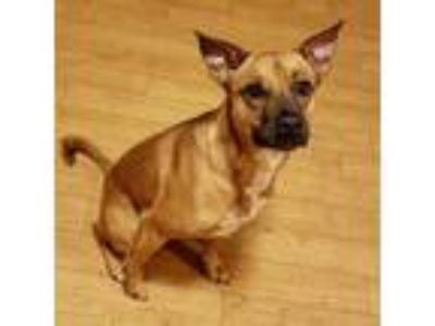 Adopt ****Courtesy****Reese2 a Shepherd, Black Mouth Cur