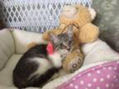 Adopt Venus a Brown Tabby Domestic Shorthair (short coat) cat in Metairie