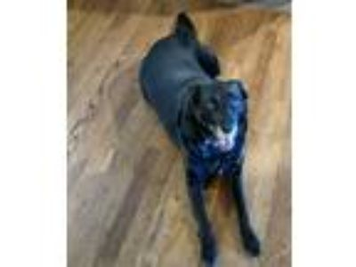 Adopt McFadden a Black Labrador Retriever / Collie / Mixed dog in Rogers