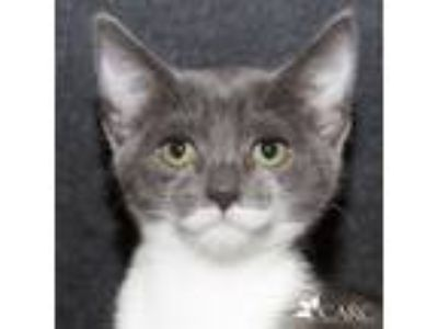 Adopt Puddle a Gray or Blue (Mostly) Domestic Shorthair (short coat) cat in
