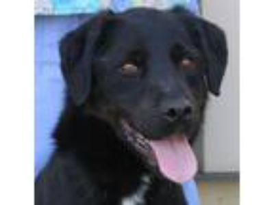 Adopt Fluffy a Labrador Retriever