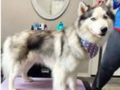 Adopt Dude a Black - with Gray or Silver Siberian Husky / Mixed dog in Winter