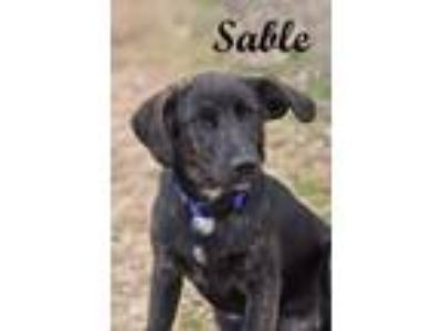 Adopt Sable a Cattle Dog, Labrador Retriever