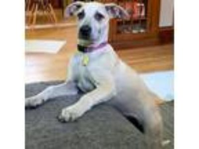 Adopt Gamora a Tan/Yellow/Fawn - with White American Staffordshire Terrier /