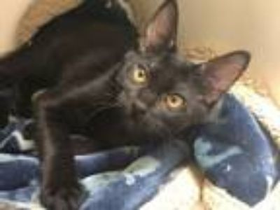 Adopt GREEN a Domestic Short Hair