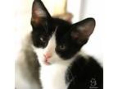Adopt Lincoln a Domestic Short Hair
