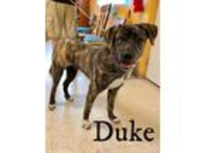 Adopt Duke a Black - with Gray or Silver Mastiff / Labrador Retriever / Mixed