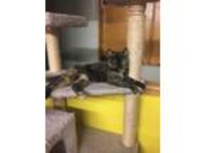 Adopt Miss Hattie a Domestic Short Hair