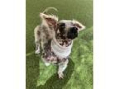 Adopt Hunter a White - with Black Poodle (Miniature) / Terrier (Unknown Type
