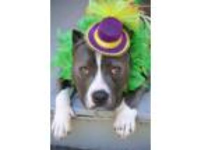 Adopt June a Pit Bull Terrier / Mixed dog in Vallejo, CA (25311735)