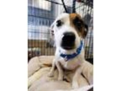 Adopt Russell a Jack Russell Terrier