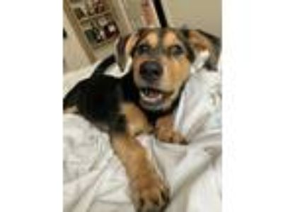Adopt Penny Lane a Black - with Tan, Yellow or Fawn Shepherd (Unknown Type) /