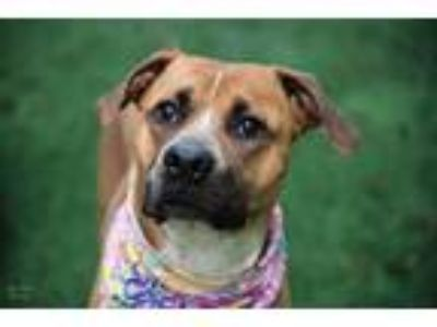 Adopt Cordelia a Tan/Yellow/Fawn Boxer / Labrador Retriever / Mixed dog in