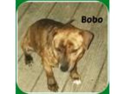 Adopt BOBO a Brown/Chocolate - with White Hound (Unknown Type) / Mixed dog in