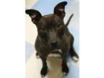 Adopt Isla a Brindle - with White Mixed Breed (Medium) / Mixed dog in