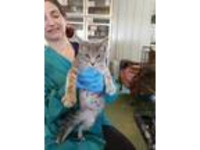 Adopt Noell a Gray or Blue American Shorthair / Domestic Shorthair / Mixed cat