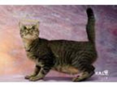 Adopt Queen Latifah a Domestic Short Hair