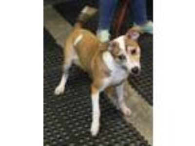 Adopt Sarah a White Jack Russell Terrier / Mixed dog in Philadelphia