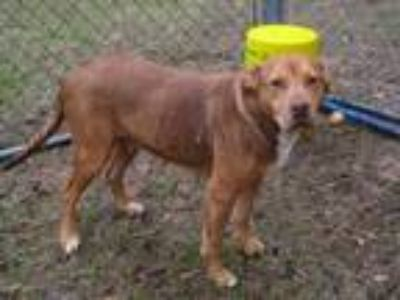 Adopt Lucy a Red/Golden/Orange/Chestnut - with Black German Shepherd Dog /
