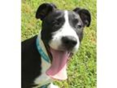 Adopt Diesel a Black - with White Great Dane / Border Collie / Mixed dog in