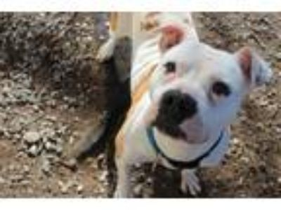 Adopt Suzy McWiggles a White - with Tan, Yellow or Fawn Pit Bull Terrier / Mixed