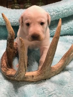 Labrador Retriever PUPPY FOR SALE ADN-103239 - AKC Charcoal Silver and Champagne Labs