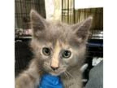 Adopt 19-06-1790j Sue a Domestic Shorthair / Mixed (short coat) cat in Dallas