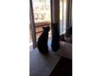 Adopt Binx & Ferguson a All Black Domestic Shorthair / Mixed cat in Oceanside