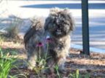 Adopt COBY a Gray/Blue/Silver/Salt & Pepper Poodle (Toy or Tea Cup) / Mixed dog