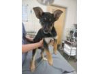 Adopt Tessa a German Shepherd Dog