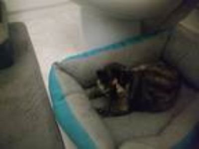 Adopt Coffee a Tortoiseshell Domestic Shorthair cat in Theodore, AL (25063623)