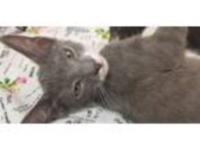 Adopt Jack a Gray or Blue (Mostly) Domestic Shorthair / Mixed (short coat) cat