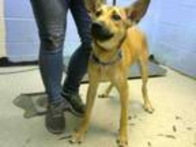 Adopt FLICK a German Shepherd Dog, Mixed Breed