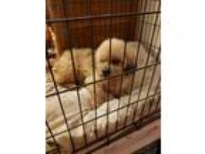 Adopt Fluffy a Tan/Yellow/Fawn Lhasa Apso / Mixed dog in Monroe, CT (25865224)