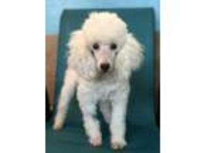 Adopt Angel a White Poodle (Toy or Tea Cup) / Mixed dog in Raytown