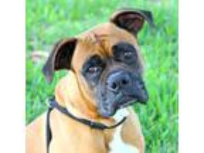 Adopt Bourbon a Tan/Yellow/Fawn Boxer / Mixed dog in Loxahatchee, FL (25227260)
