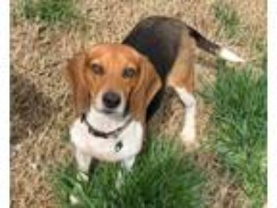Adopt Trixie a Tricolor (Tan/Brown & Black & White) Beagle / Mixed dog in