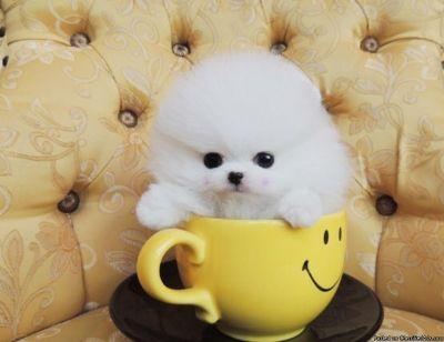 Top Quality =Pomeranian Puppies.
