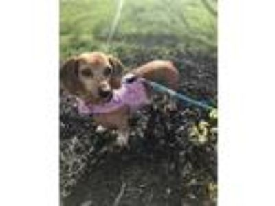 Adopt UTAH DRUT - Angel a Red/Golden/Orange/Chestnut Dachshund / Mixed dog in