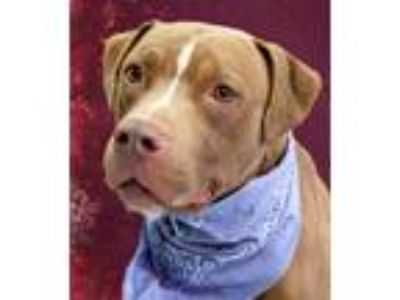 Adopt Kobe a Tan/Yellow/Fawn - with White American Pit Bull Terrier / Mixed dog